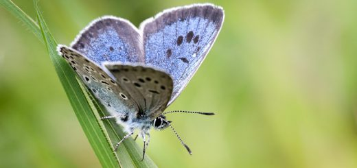 Large Blue (Maculinea arion) - Green Down, Somerset, UK. ID 822_4409