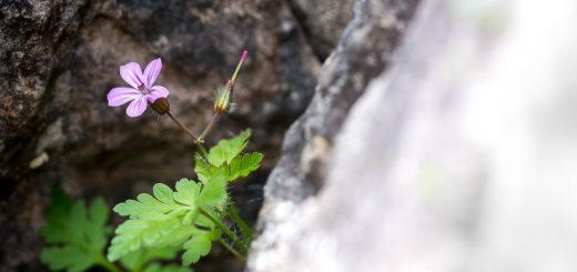 Herb-Robert (Geranium robertianum) - Lynchcombe, Somerset, UK. ID 822_4766