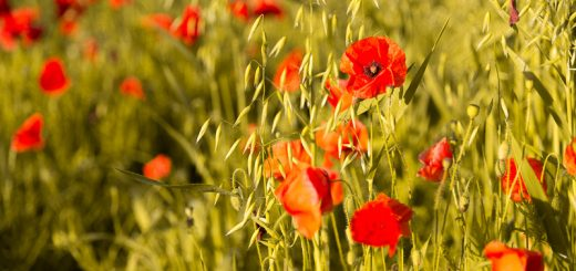 Poppy Fields - Cary Hill, Castle Cary, Somerset, UK. ID 822_4936