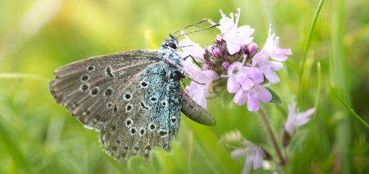 Large Blue (Maculinea arion) - Green Down, Somerset, UK. ID 822_5000