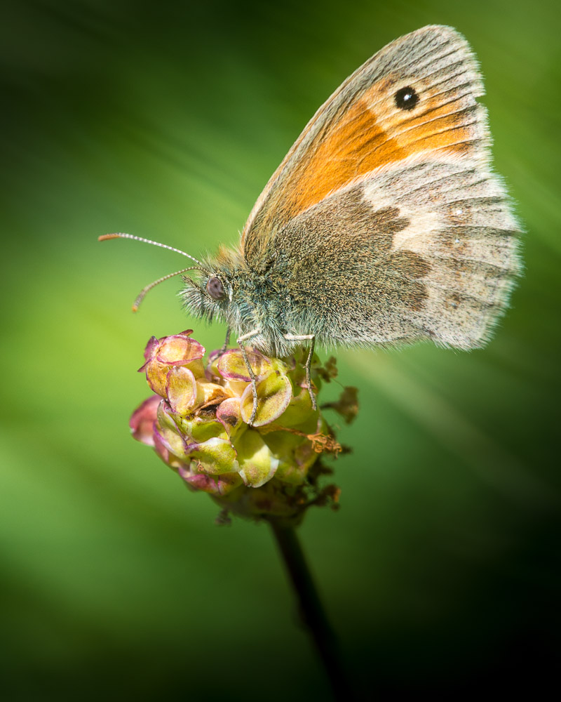Small Heath (Coenonympha pamphilus) - Green Down, Somerset, UK. ID 822_5015