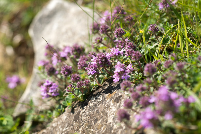 Wild Thyme (Thymus polytrichus) - Green Down, Somerset, UK. ID 822_5024