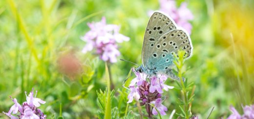 Large Blue (Maculinea arion) - Green Down, Somerset, UK. ID 822_5062