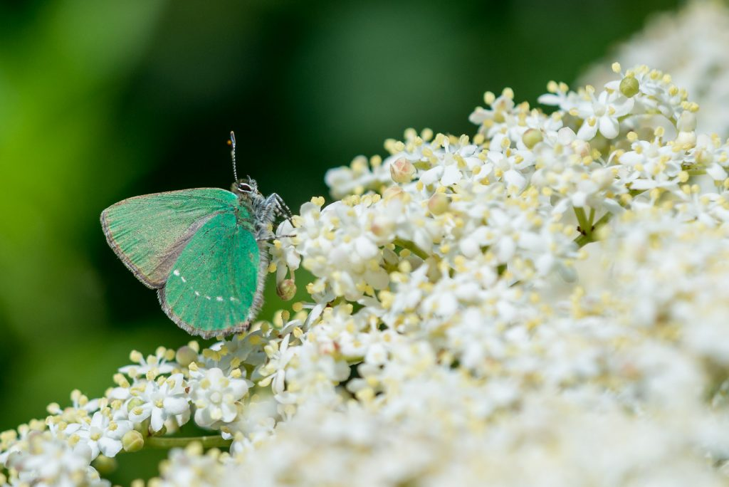 Green Hairstreak (Callophrys rubi) - Lynchcombe, Somerest, UK. ID 822_6492