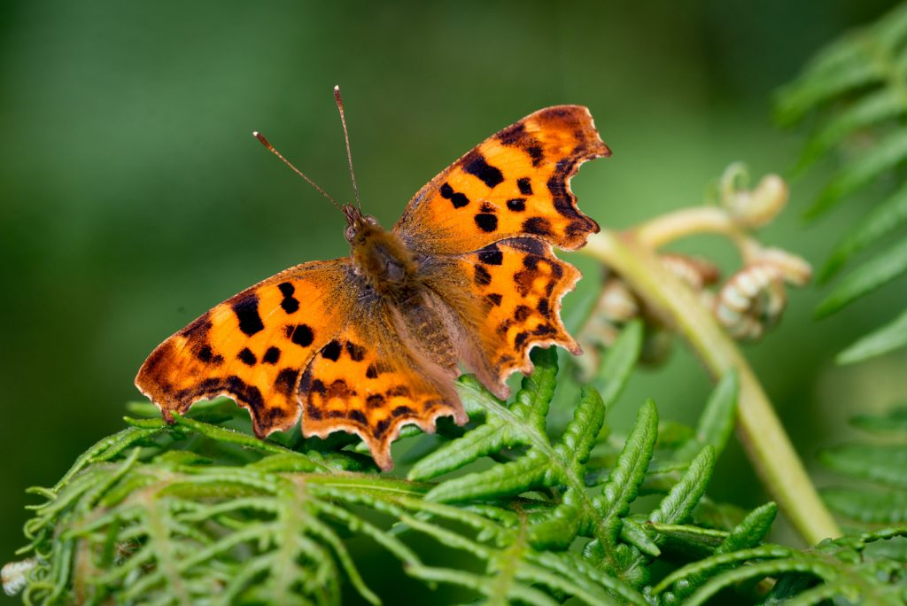 Comma (Polygonia c-album) - Lynchcombe, Somerset, UK. ID 822_6713