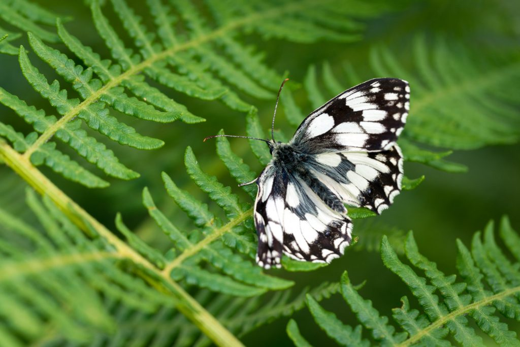 Marbled White (Melanargia calathea) - Lynchcombe, Somerset, UK. ID 822_6739