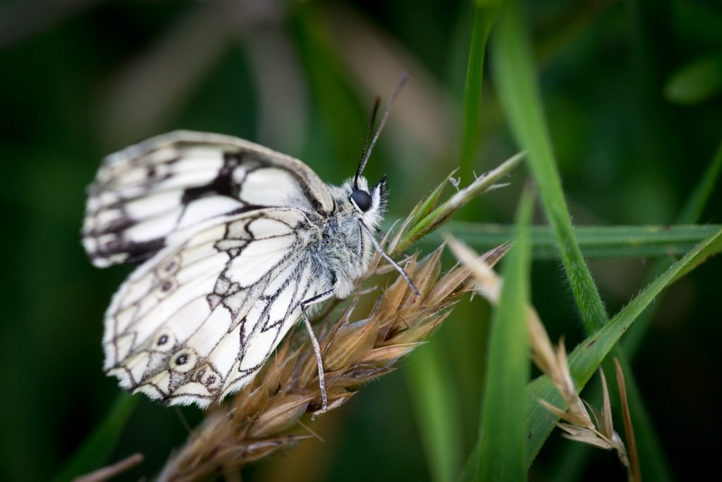 Marbled White (Melanargia calathea) - Lynchcombe, Somerset, UK. ID 822_6748