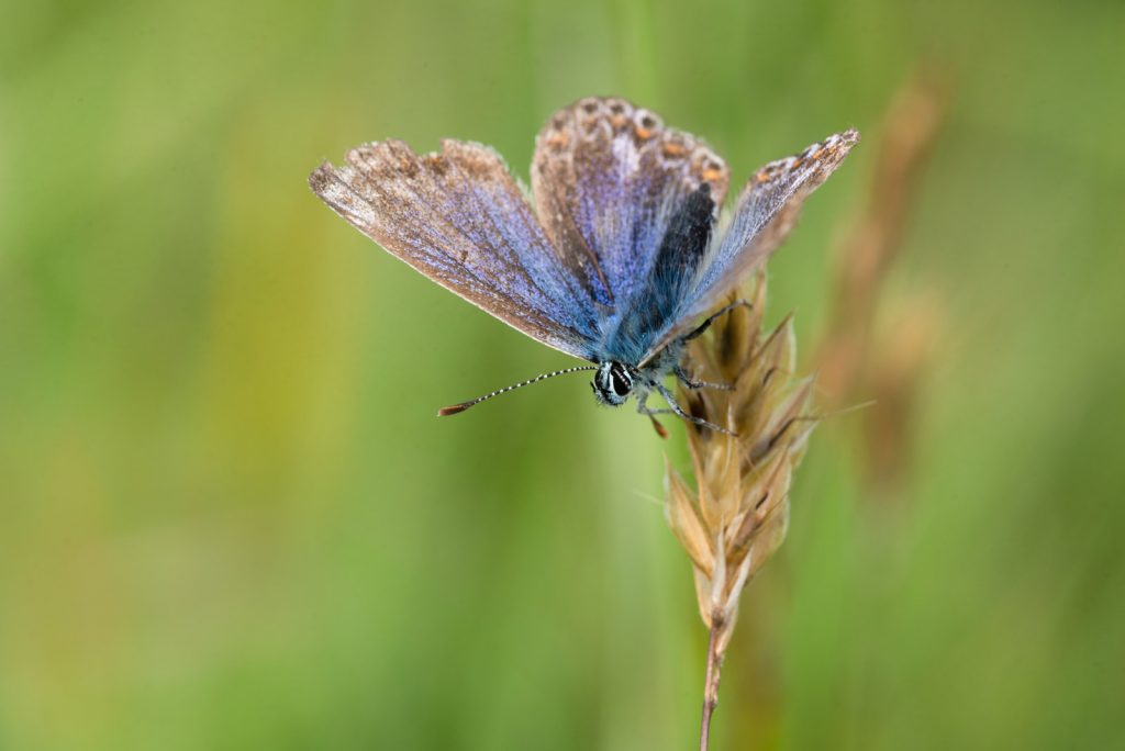 Common Blue (Polyommatus icarus) - Lynchcombe, Somerset, UK. ID 822_6787