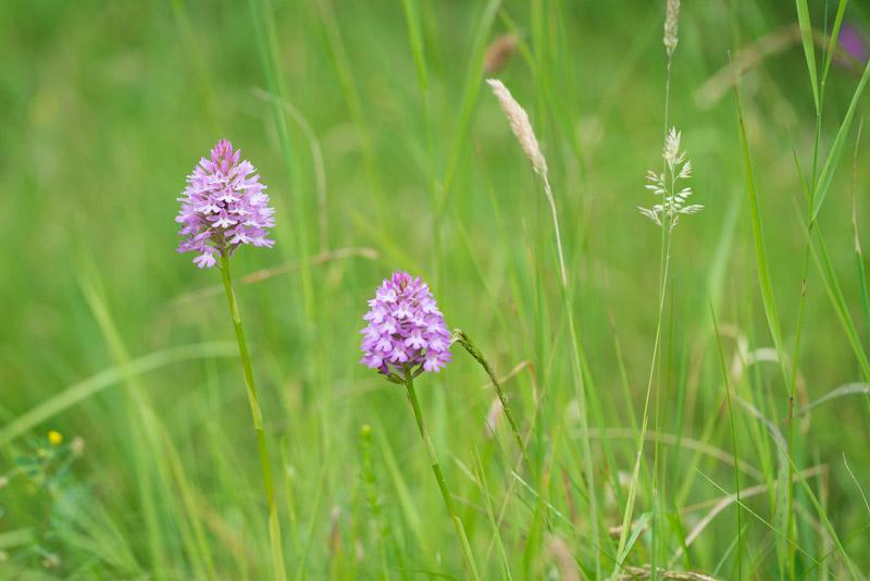 Pyramidal orchid (Anacamptis pyramidalis) - South Hill, Somerset, UK. ID 822_6923
