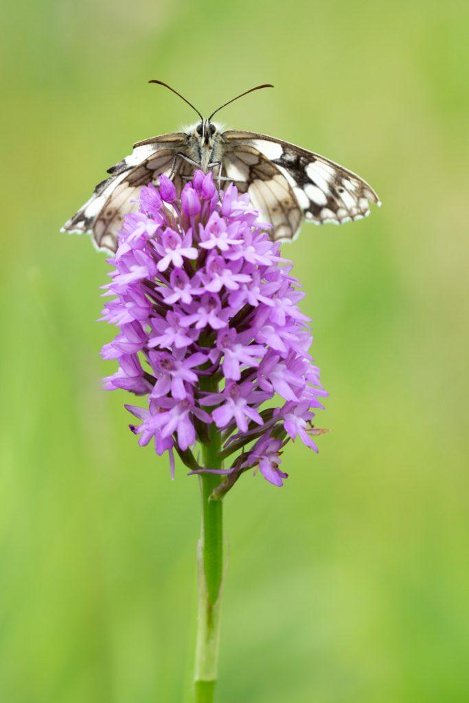 Marbled White (Melanargia calathea) Pyramidal orchid (Anacamptis pyramidalis) - South Hill, Somerset, UK. ID 822_6949