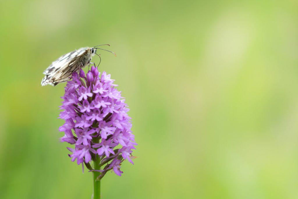 Marbled White (Melanargia calathea) Pyramidal orchid (Anacamptis pyramidalis) - South Hill, Somerset, UK. ID 822_6975