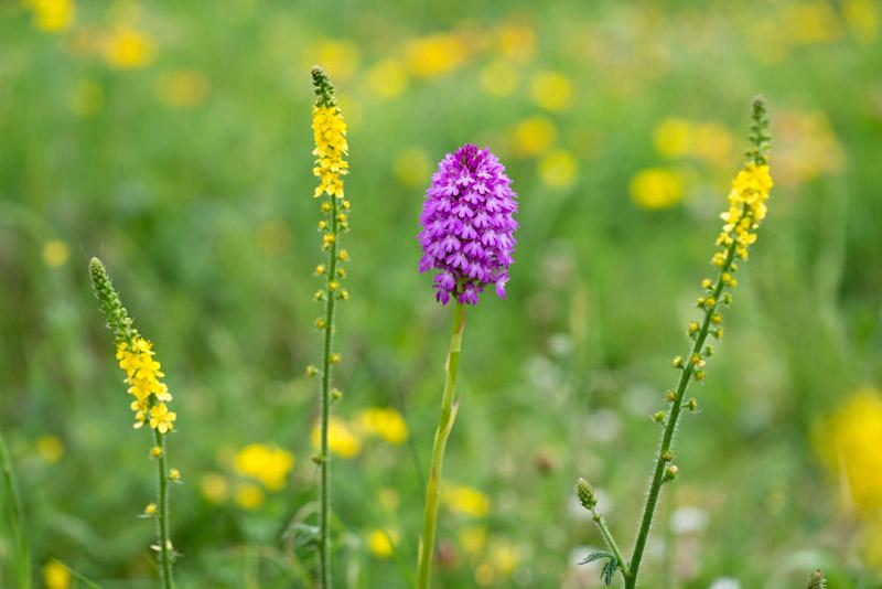 Pyramidal orchid (Anacamptis pyramidalis) and Agrimony (Agrimonia) - South Hill, Somerset, UK. ID 822_7007