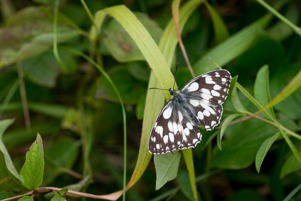 Marbled White (Melanargia calathea) - South Hill, Somerset, UK. ID 822_7077