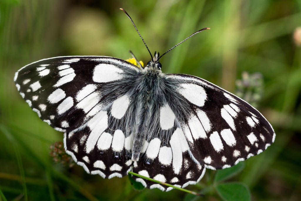 Marbled White (Melanargia calathea) - South Hill, Somerset, UK. ID 822_7184