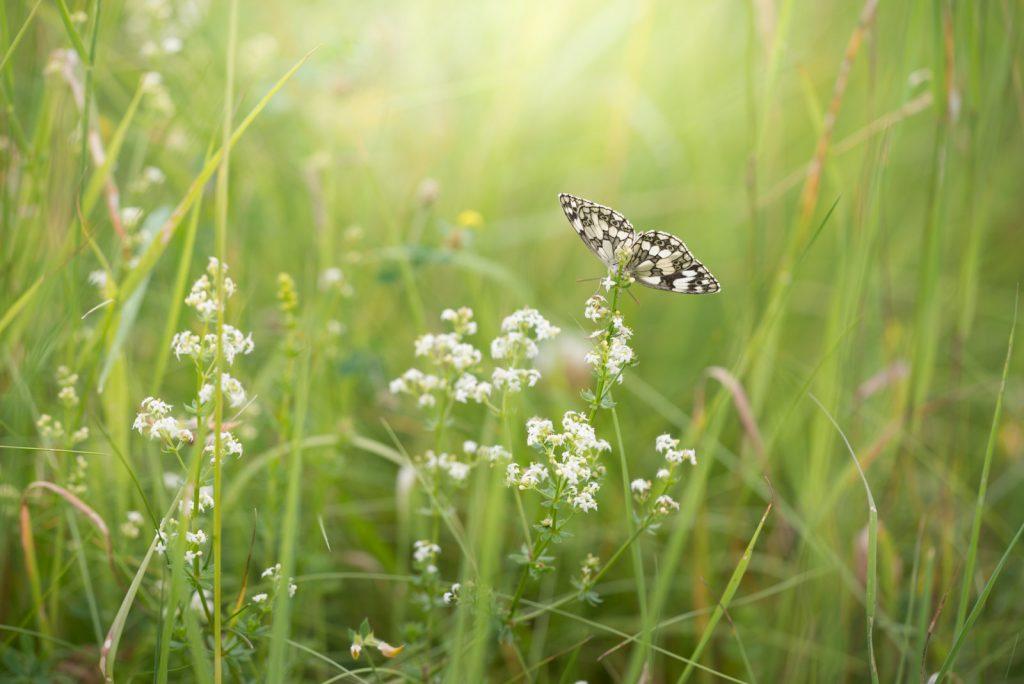 Marbled White (Melanargia calathea) - South Hill, Somerset, UK. ID 822_7250