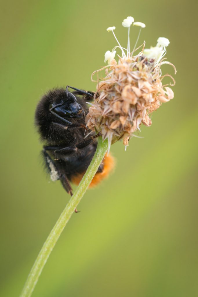 Bumble Bee on Plantain - South Hill, Somerset, UK. ID 822_7336