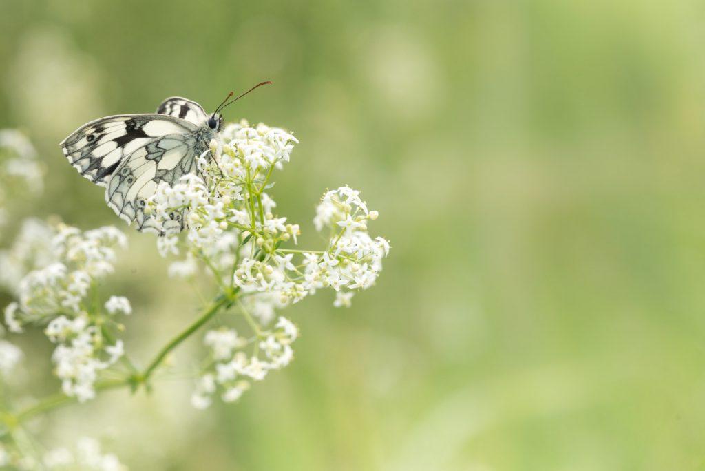 Marbled White (Melanargia calathea) - South Hill, Somerset, UK. ID 822_7478