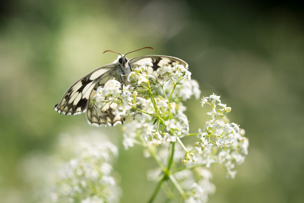 Marbled White (Melanargia calathea) - South Hill, Somerset, UK. ID 822_7638