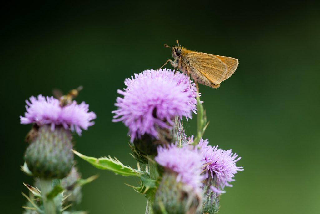 Small Skipper (Thymelicus sylvestris) - Lynchcombe, Somerset, UK. ID 822_7722