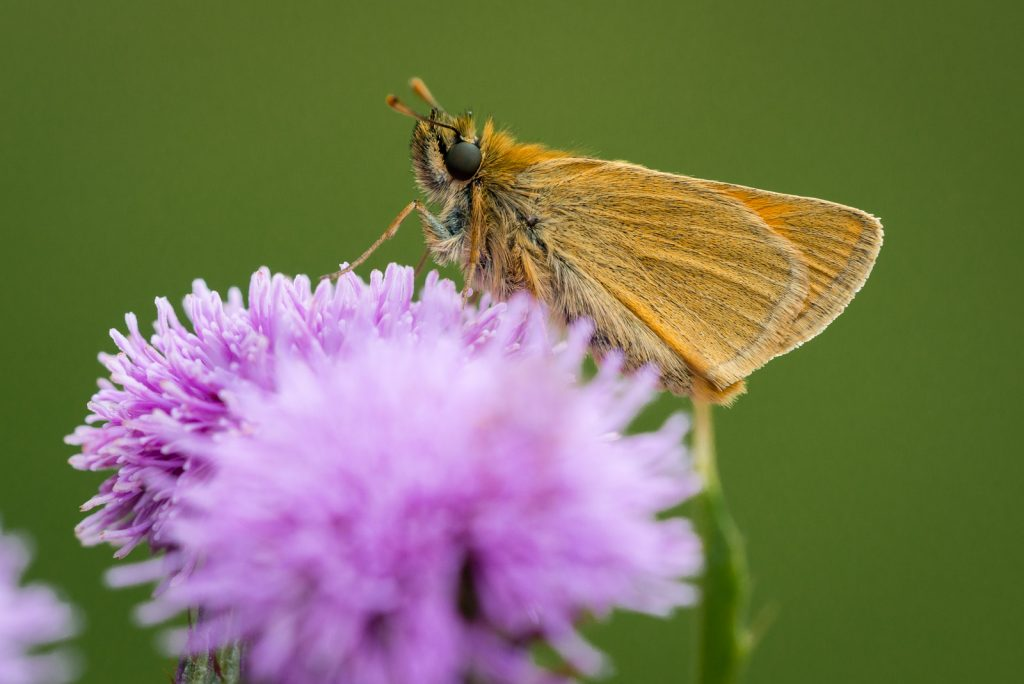 Small Skipper (Thymelicus sylvestris) - Lynchcombe, Somerset, UK. ID 822_7738