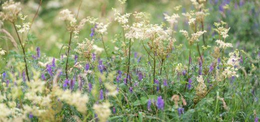 Meadowsweet (Filipendula ulmaria) and Common Vetch (Vicia sativa) - Templecombe, Somerset, UK. ID 822_8068
