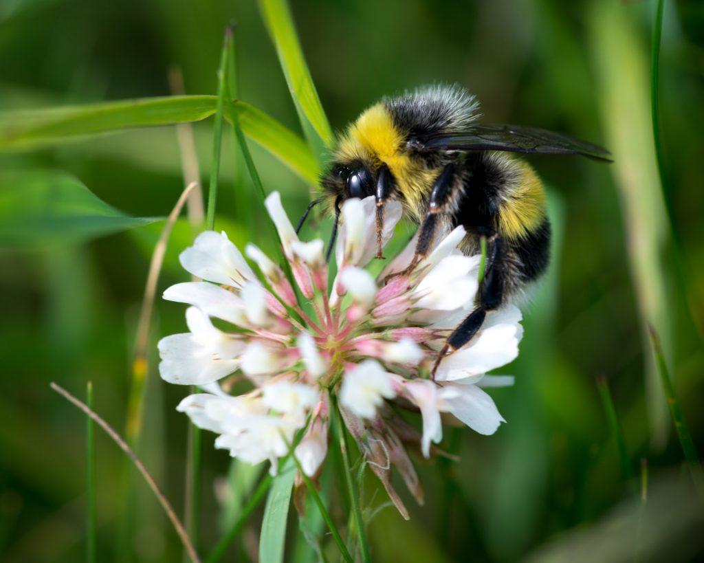 Bumble Bee on Clover - Lynchcombe, Somerset, UK. ID 822_8413