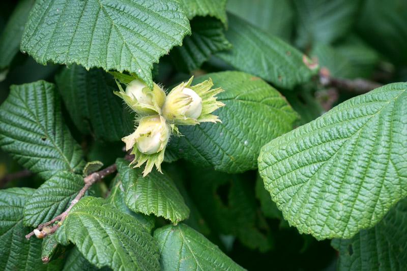 Hazel (Corylus avellana) - Lynchcombe, Somerset, UK. ID 822_8560