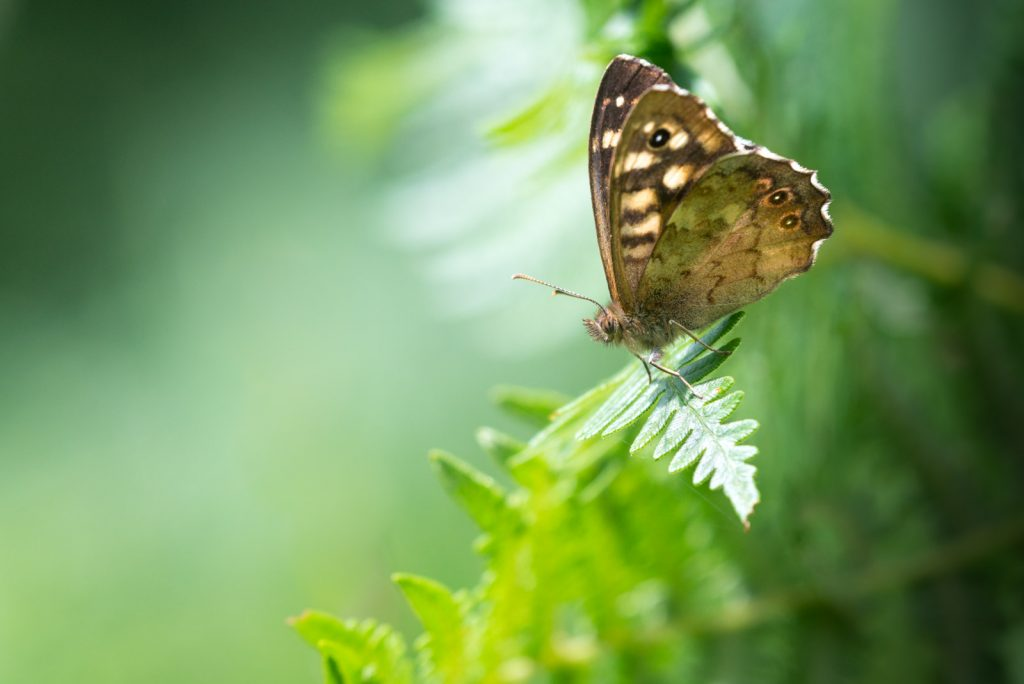 Speckled Wood (Pararge aegeria) - Lynchcombe, Somerset, UK. ID 822_8673