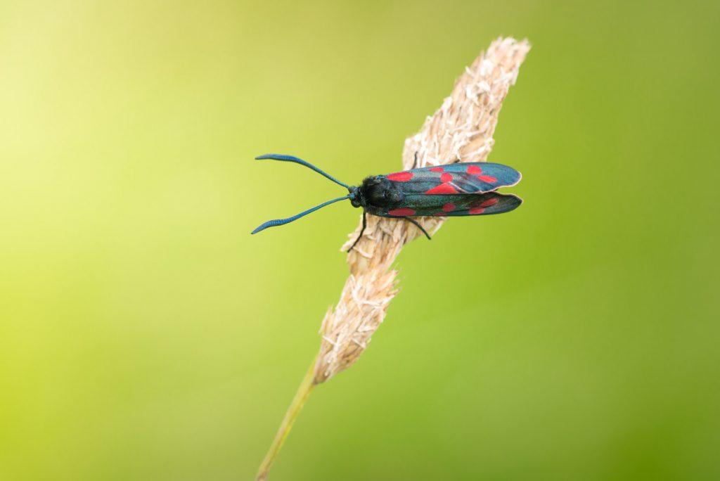 Five-spot Burnet (Zygaena trifolii) - Lynchcombe, Somerset, UK. ID 822_8692