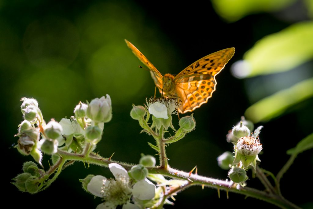 Silver-washed Fritillary (Argynnis paphia) - Great Breach Wood, Somerset, UK. ID 822_8831