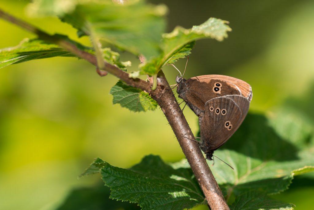 Ringlet (Aphantopus hyperantus) - Great Breach Wood, Somerset, UK. ID 822_9049