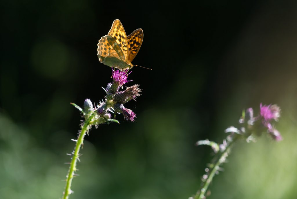 Silver-washed Fritillary (Argynnis paphia) - Great Breach Wood, Somerset, UK. ID 822_9187