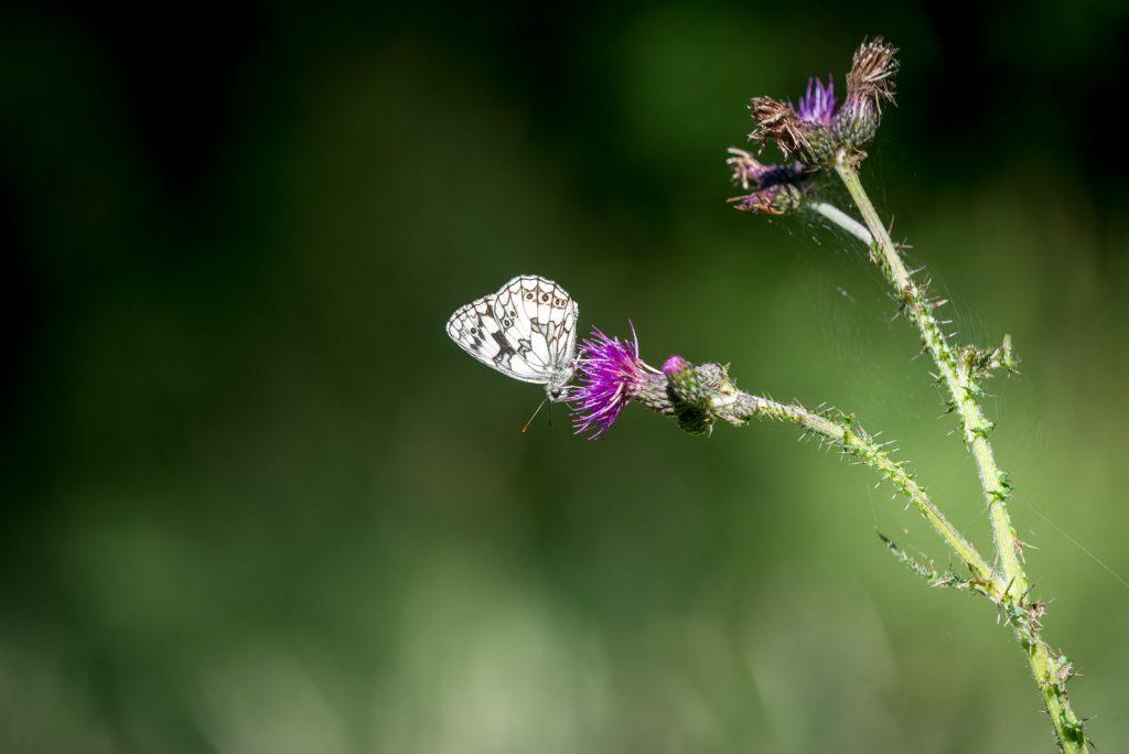 Marbled White (Melanargia calathea) - Great Breach Wood, Somerset, UK. ID 822_9385