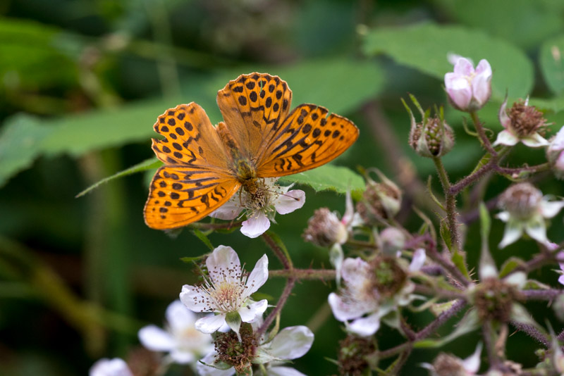 Silver-washed Fritillary (Argynnis paphia) - Great Breach Wood, Somerset, UK. ID 822_9431