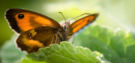 Gatekeeper (Pyronia tithonus) - Lynchcombe, Somerset, UK. ID 823_0386