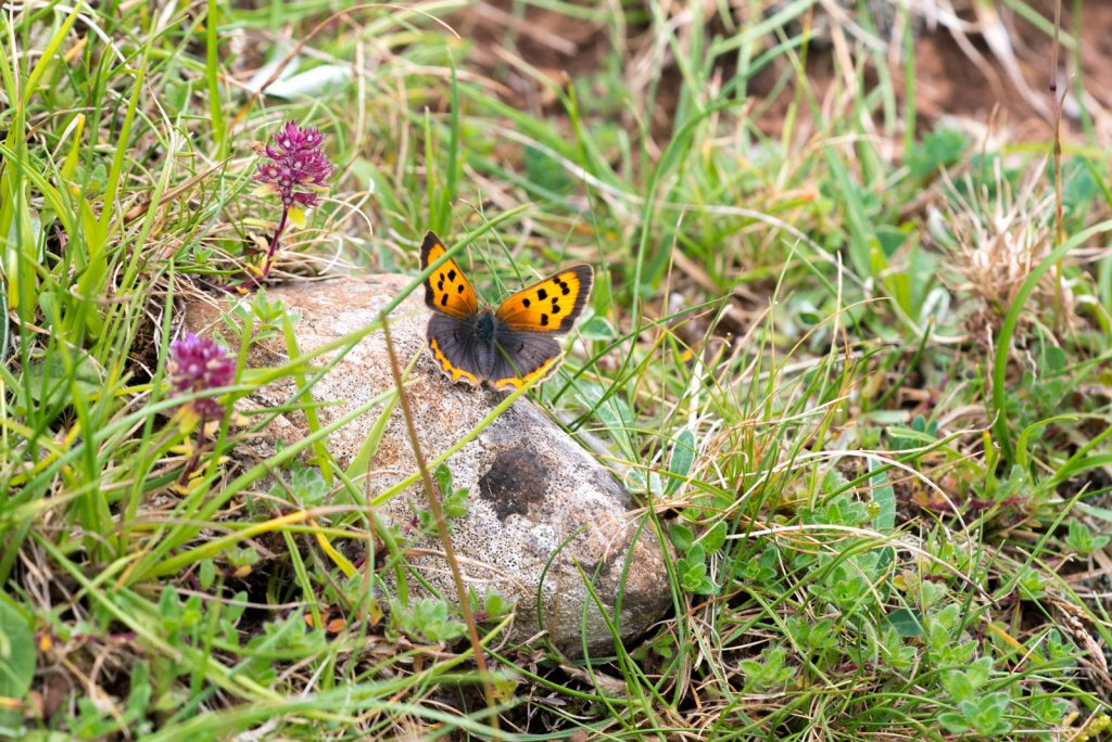 Small Copper (Lycaeena phlaeas) - Lynchcombe, Somerset, UK. ID 823_9862