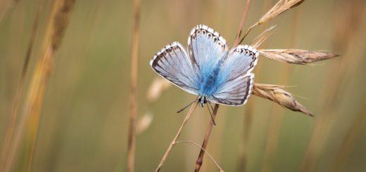 Chalkhill Blue (Polyommatus coridon) - Draycott Sleights, Somerset, UK. ID IMG_0266