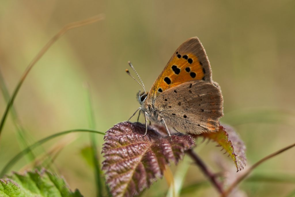 Small Copper (Lycaeena phlaeas) - Lynchcombe, Somerset, UK. ID JB4_3286