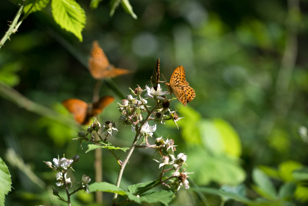 Silver-washed Fritillary (Argynnis paphia) - Great Breach Wood, Somerset, UK. ID silver washes