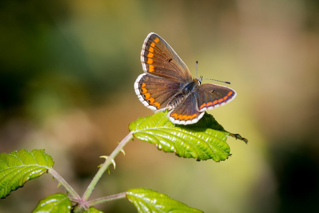 Brown Argus (Aricia agestis) - Lynchcombe, Somerset, UK. ID 803_5180