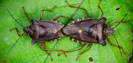 Red-legged Shieldbug (Pentatoma rufipes) - Lynchcombe, Somerset, UK. ID 823_0922