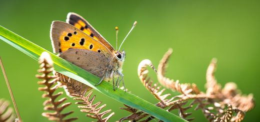 Small Copper (Lycaeena phlaeas) - Lynchcombe, Somerset, UK. 823_1405