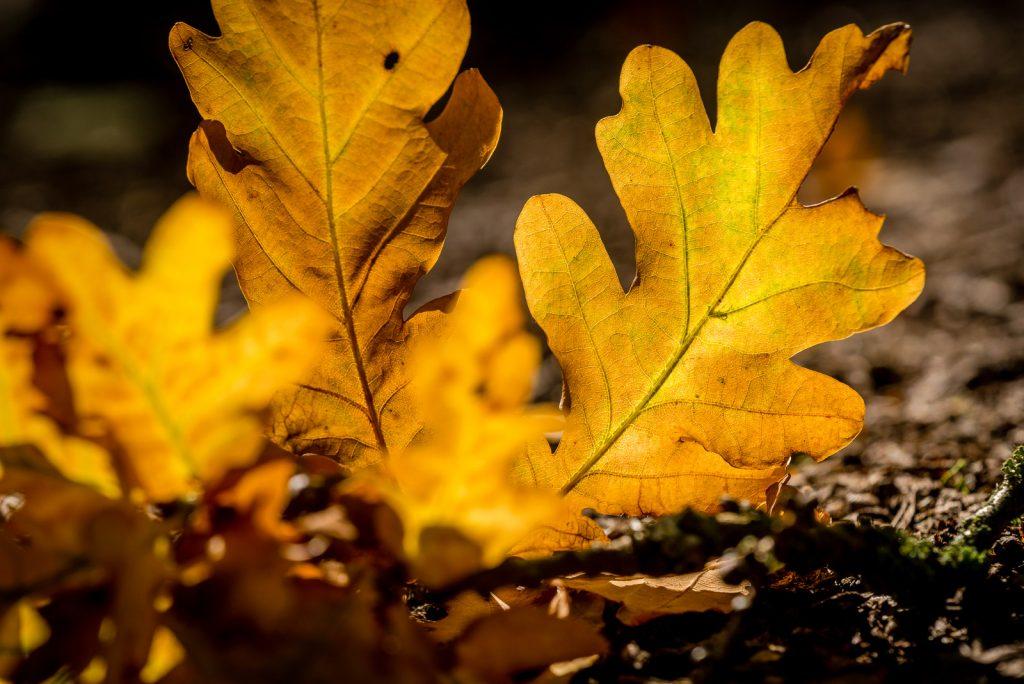 Autumn Oak Leaves - Great Breach Wood, Somerset, UK. ID 823_1735