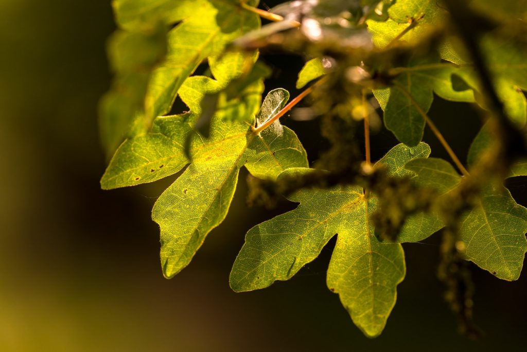 Field Maple (Acer campestre) - Hatch Hill, Somerset, UK. ID 823_2097