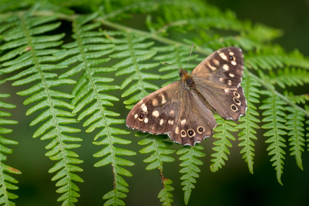 Speckled Wood (Pararge aegeria) - Lynchcombe, Somerset, UK. ID 822_2243