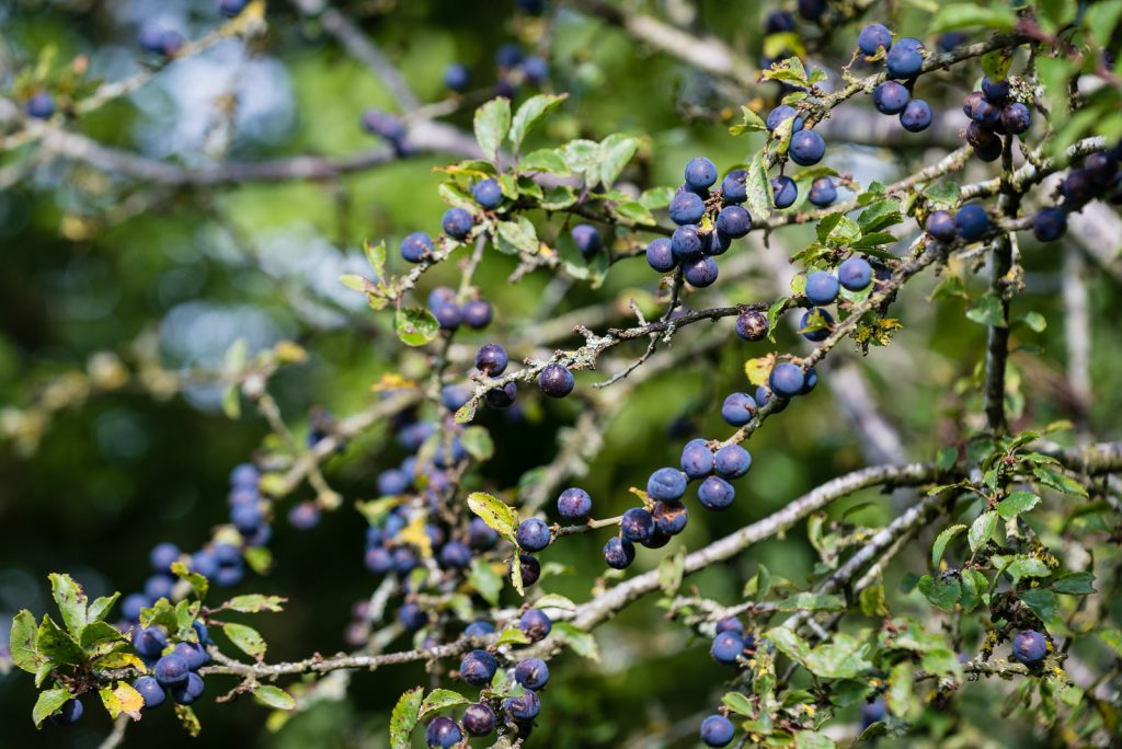 Sloe berries on Blackthorn - Lynchcombe, Somerset, UK. ID 823_2247