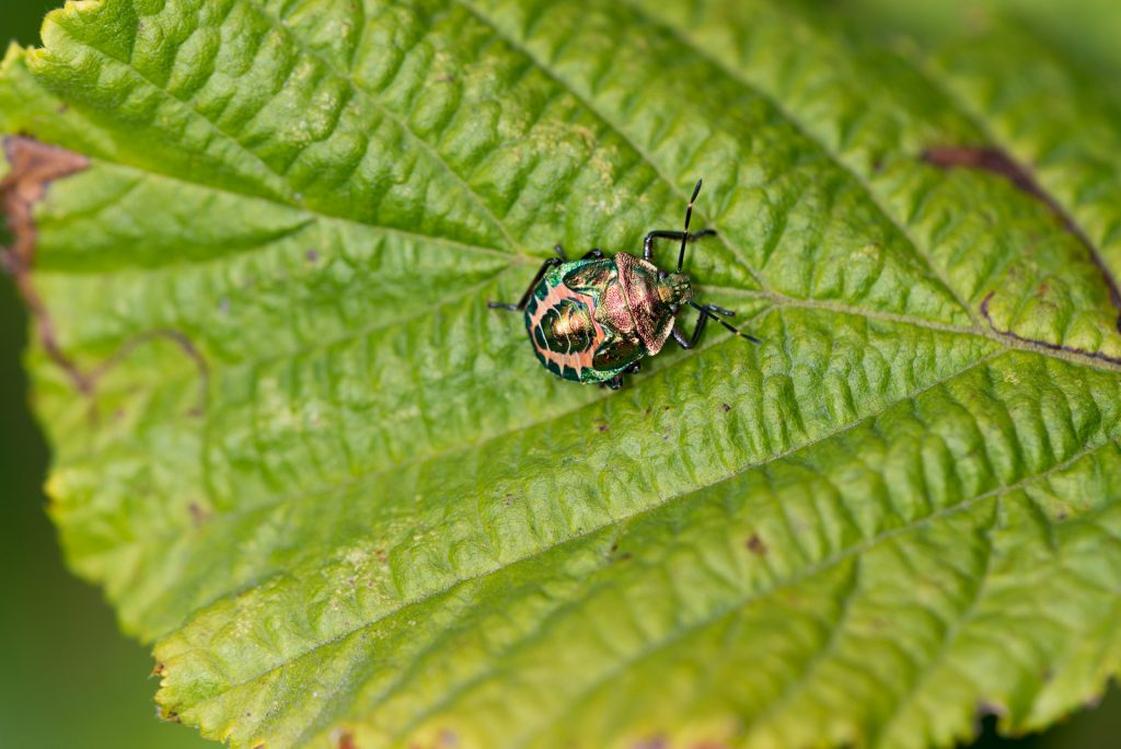 Red-legged Shieldbug (Pentatoma rufipes) - Lynchcombe, Somerset, UK. ID 823_2263