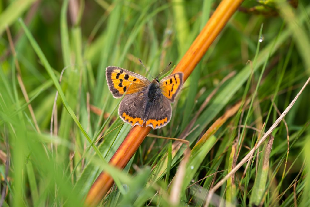 Small Copper (Lycaeena phlaeas) - Lynchcombe, Somerset, UK. 823_2281