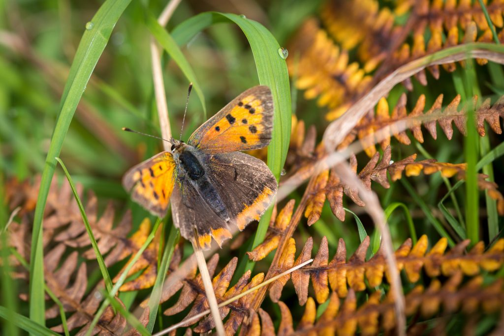 Small Copper (Lycaeena phlaeas) - Lynchcombe, Somerset, UK. 823_2300