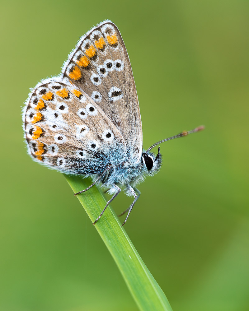 Brown Argus (Aricia agestis) - Lynchcombe, Somerset, UK. ID 823_2338